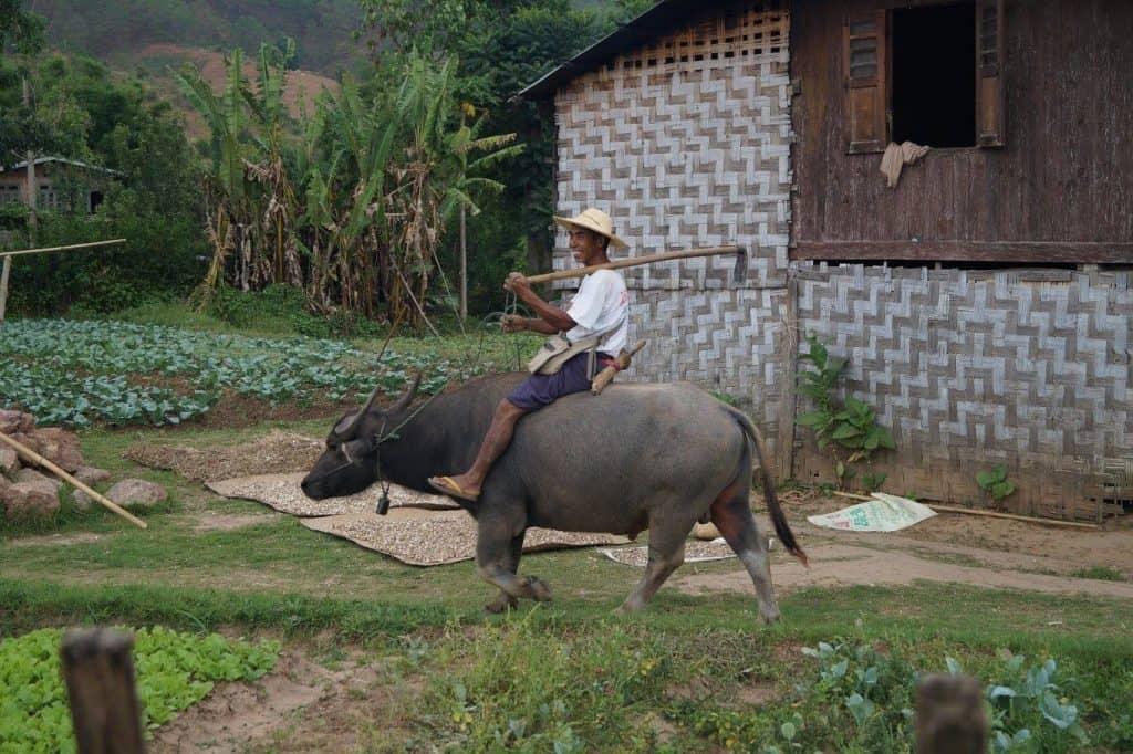 Boer op een os in Myanmar