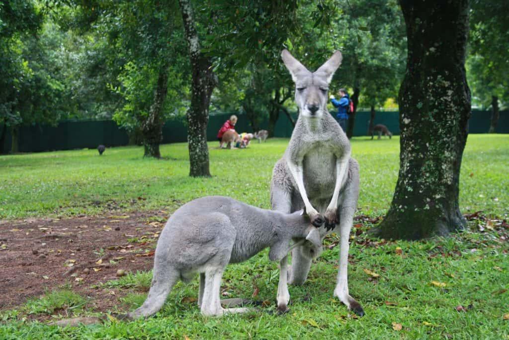 Kangoeroes in Australië